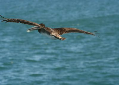 img_3869-pelican